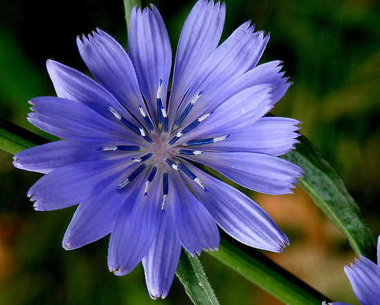 Chicory dell'egocentrismo all'amore incondizionato